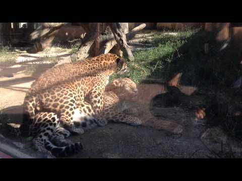 Amur Leopard Ready To Pounce   The natural habitat of the