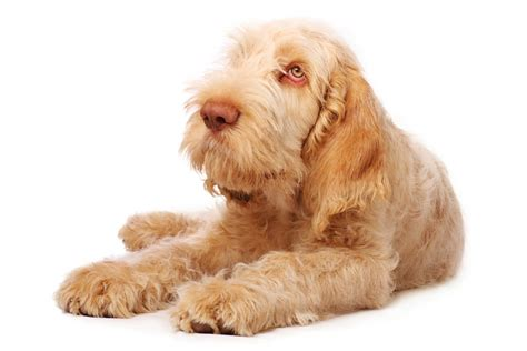 Spinone   Pet4you